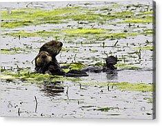 Sea Otters 1 Acrylic Print