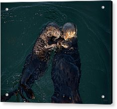 Sea Otters II Color Acrylic Print by David Gordon