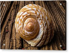 Sea Shell Study In Brown Tones Acrylic Print by Garry Gay
