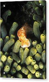 Sea Slug Nudibranch Crawling Acrylic Print by James Forte