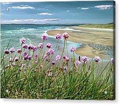 Sea Thrift Wild Flowers - On The Cliff Edge Above Tullan Strand Acrylic Print