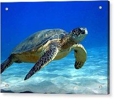 Sea Turtle Blue Acrylic Print by Peter Oconor