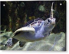 Sea Turtle Hello Acrylic Print by Paulette Thomas