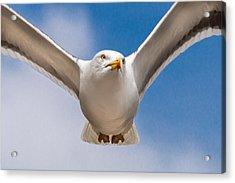 Seabird Closeup Acrylic Print