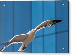 Seabird Flying On The Glass Building Background Acrylic Print