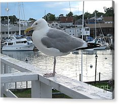 Seagull At Rest Acrylic Print