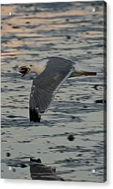 Seagull Cracking Open A Clam Acrylic Print by Gene Sizemore