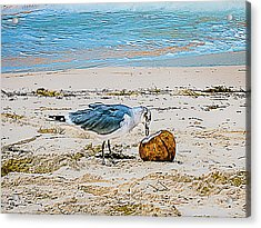 Seagull Eating From A Coconut On The Beach Acrylic Print