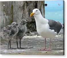 Seagull Family Acrylic Print by Laurel Powell