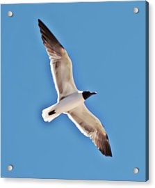 Seagull In Flight Acrylic Print by Gina O'Brien