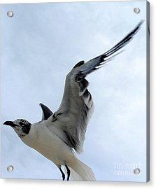 Seagull In Flight II Acrylic Print