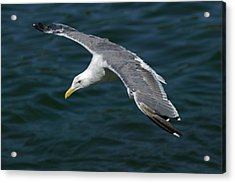 Seagull  In Flight Acrylic Print by Randall Ingalls