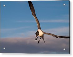 Seagull In Flight Acrylic Print