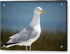 Seagull Acrylic Print by Lisa Patti Konkol