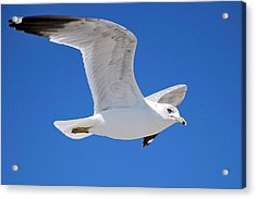 Seagull Acrylic Print by Ludwig Keck