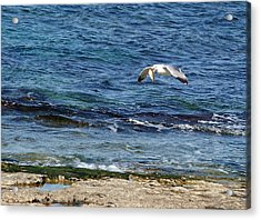 Acrylic Print featuring the photograph Seagull Meal Time 2 by Arik Baltinester