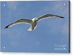 Seagull Patrol Acrylic Print by Steev Stamford