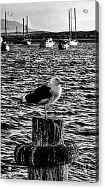 Seagull Perch, Black And White Acrylic Print