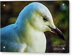 Seagull Portrait 1  Acrylic Print