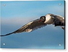 Seagull Portrait In Flight Acrylic Print