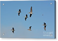 Seagull Soaring With Pelicans Acrylic Print