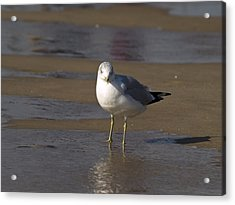 Seagull Standing Acrylic Print
