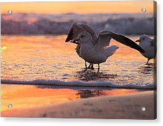 Seagull Stretch At Sunrise Acrylic Print