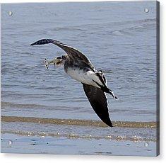 Seagull With Shrimp Acrylic Print