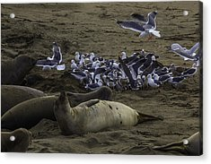 Seagulls And Elephant Seals Acrylic Print by Garry Gay