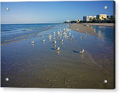 Seagulls And Terns On The Beach In Naples, Fl Acrylic Print