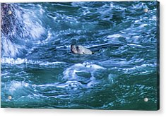 Acrylic Print featuring the photograph Seal In Teh Water by Jonny D