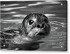 Seal In Water Acrylic Print