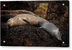 Acrylic Print featuring the photograph Seal Nursing Pup by David A Lane