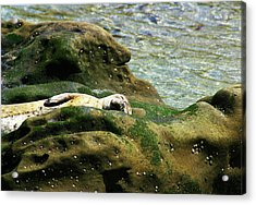 Acrylic Print featuring the photograph Seal On The Rocks by Anthony Jones