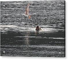 Sealion Vs Seagull Acrylic Print
