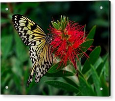 Searching For Nectar Acrylic Print