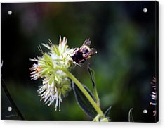 Searching For Pollen Acrylic Print