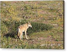 Searching Wolf Acrylic Print