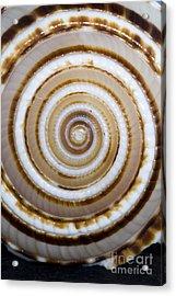 Seashell Spirals Acrylic Print by Bill Brennan - Printscapes