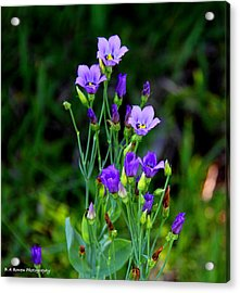 Seaside Gentian Wildflower  Acrylic Print by Barbara Bowen