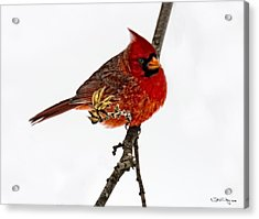 Second Cardinal Acrylic Print by Skip Tribby