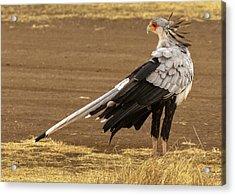 Secretary Bird Tanzania Acrylic Print