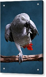 Secretive Gray Parrot Acrylic Print