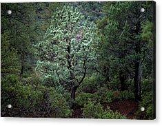 Sedona Tree #1 Acrylic Print