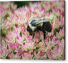Acrylic Print featuring the photograph Sedum Bumbler by Bill Pevlor