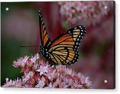 Sedum Butterfly Acrylic Print