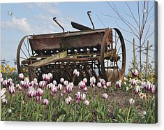 Seed Drill Tulips Acrylic Print by Brent Easley