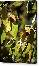Seed Pods In The Fall Acrylic Print by Tom Buchanan