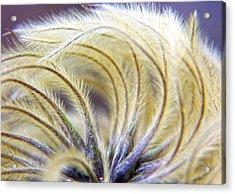 Seedheads Acrylic Print by Brian Roscorla