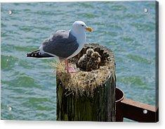Seagull Family Acrylic Print by Richard J Cassato